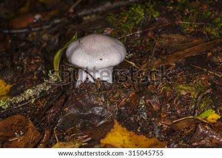 mushroom Cortinarius in the forest - stock photo
