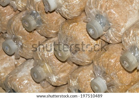 Mushroom cultivation in soil and sawdust in plastic bag - stock photo