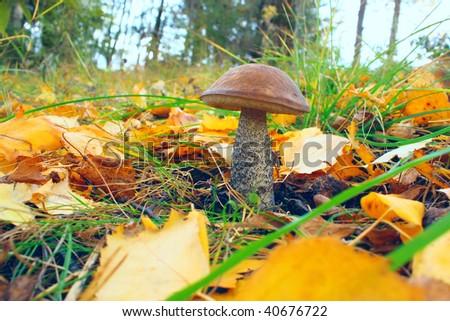 Mushroom in autumn forest - stock photo