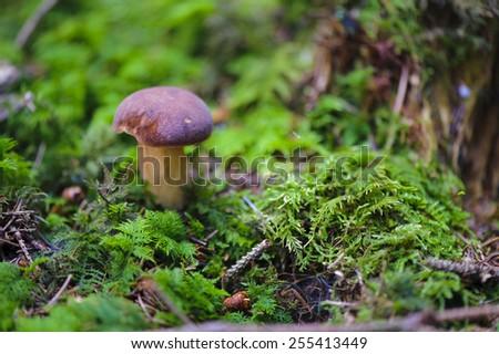 mushroom in green moss - stock photo