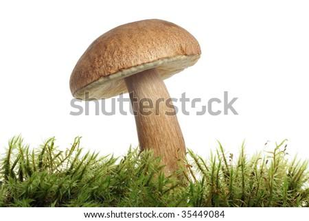 mushroom in moss - stock photo