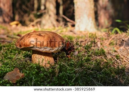 mushroom in the forest under pane sun light - stock photo