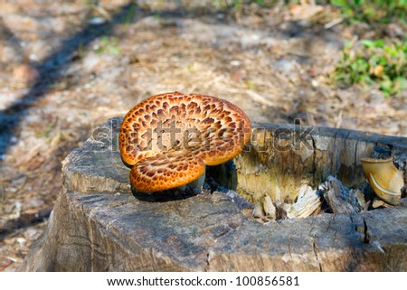 Mushrooms are growing on a stump in the forest. - stock photo