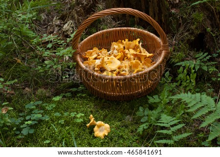 Mushrooms Chanterelle. Mushrooms Chanterelle In Wicker Basket On Green Moss In Forest. Top View. Wicker Basket With Mushrooms Chanterelle In Forest.