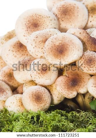 mushrooms closeup - stock photo