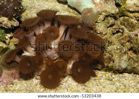 Mushrooms Coral in Saltwater Aquarium - stock photo