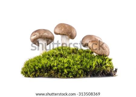 Mushrooms  growing in  green moss - stock photo