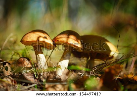 Mushrooms in an autumn forest in a sunny day - stock photo