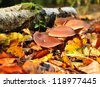 Mushrooms in autumn leaves, on which the sun shines - stock photo