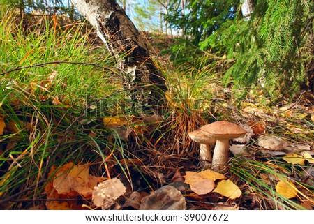 Mushrooms in sunny autumn forest - stock photo