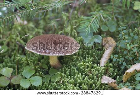 Mushrooms in the Adirondacks - stock photo