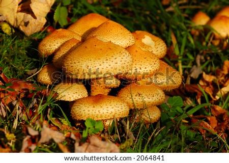 Mushrooms in the Autumn - stock photo