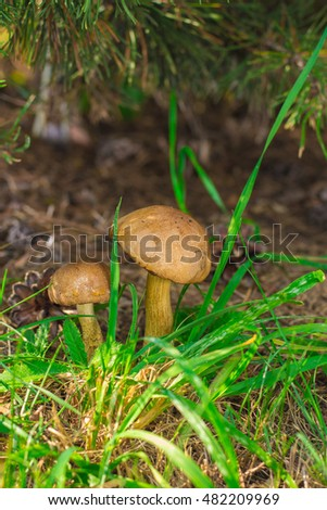 Mushrooms in the grass on the lawn