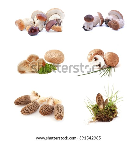Mushrooms. Mushrooms -  morchella mushrooms, boletus mushrooms, oyster mushrooms,  on white background. Edible mushrooms.  - stock photo