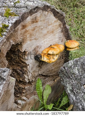 Mushrooms on a tree stump in the forest - stock photo