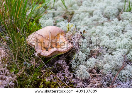 Mushrooms orange cap boletus on the moss - stock photo