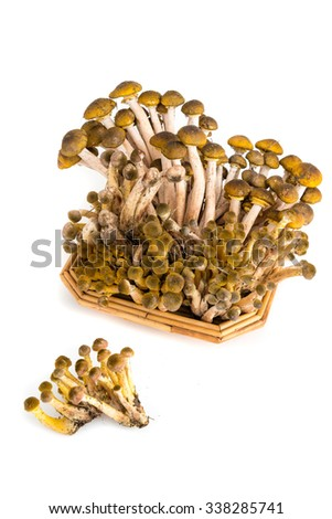 mushrooms pioppini in a basket isolated on a white background