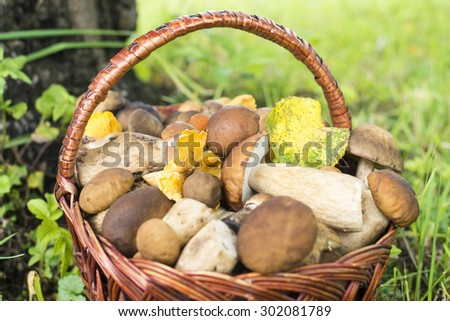 Mushrooms (porcini and chanterelles) in the wicker basket on the green grass. - stock photo