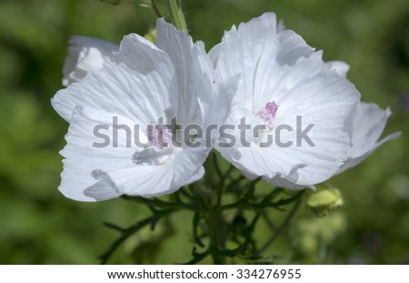 Musk mallow flower, tender white summer flower - stock photo
