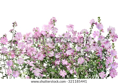 Musk Mallow Malva moschata flower on the field isolated over white background - stock photo