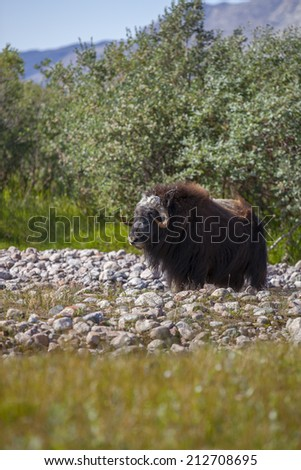 Musk ox by arctic willow in arctic valley, Greenland - stock photo