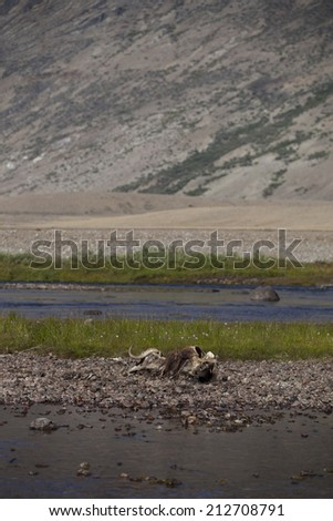 Musk ox carcass in arctic valley, Greenland - stock photo