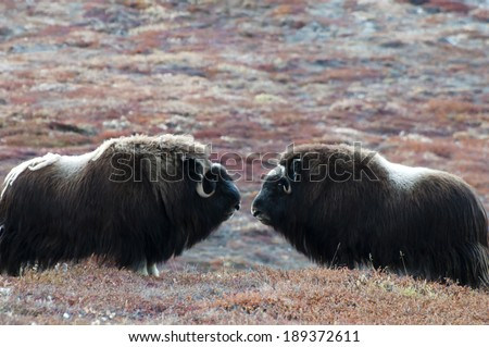 Musk Ox - Greenland - stock photo