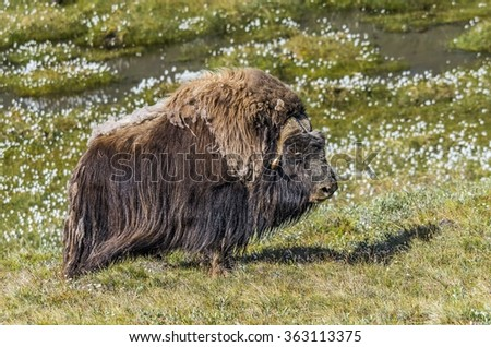 Musk Ox in Greenland - stock photo