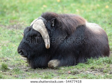 musk ox (Ovibos moschatus) - stock photo