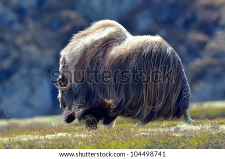musk ox - Ovibos Moschatus - in natural habitat