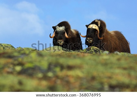 Musk Ox, Ovibos moschatus, Two brown animals with snow mountain Snoheta in the background, big animal in the nature habitat, winter scene, Dovrefjell National Park, Norway  - stock photo