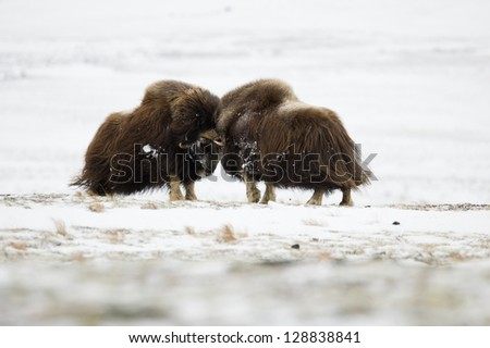 Musk-ox pair in Norge in Dovrefjell Nation Park - stock photo