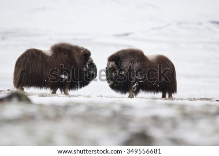 Musk-ox pair in winter in Norge - Dovrefjell Nation Park - stock photo
