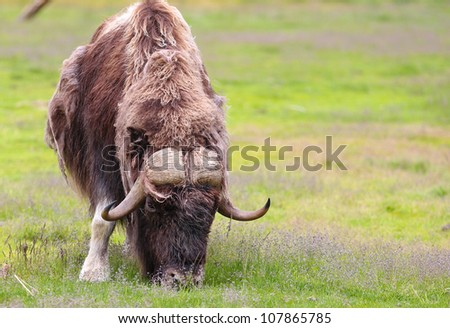 musk ox shedding winter coat - stock photo