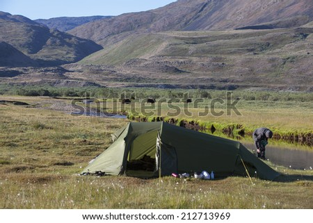Musk oxen next to camp site in arctic valley, Greenland - stock photo