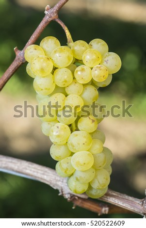 Muskat-Ottonel Grape Is Ready To Harvest In The Vineyard