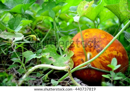 Muskmelon in field from Thailand - stock photo