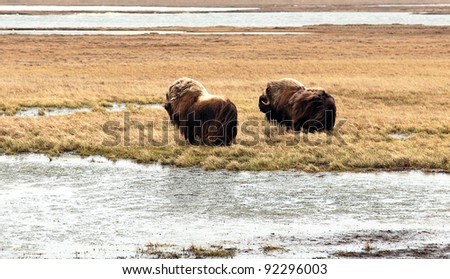 Muskox Bull And Cow - stock photo