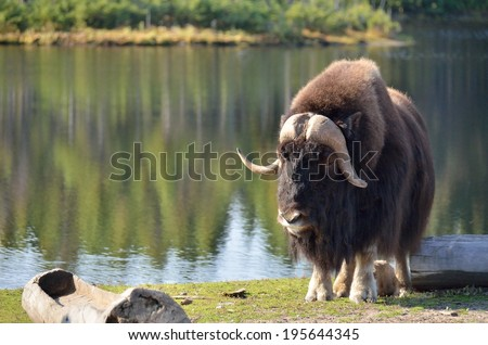 muskox, lake behind wooden trough - stock photo