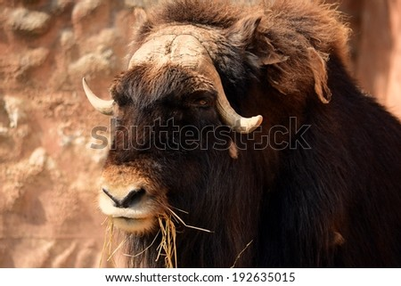 Muskox portrait - stock photo