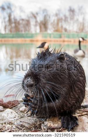 muskrat on the waterfront