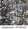 mussels attached to rocks background - stock photo