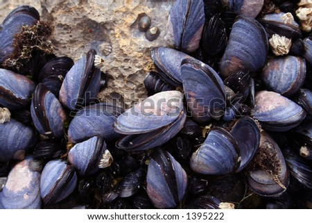 Mussels Closeup - stock photo