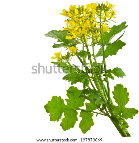 Mustard blooming plant ( Brassica nigra)  isolated on white background - stock photo