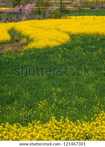 Mustard field in Kashmir, India - stock photo