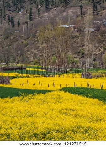 Mustard field on the way to Srinagar, Kashmir, India - stock photo