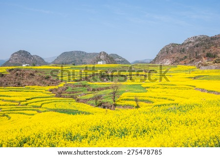 mustard field, srinagar, kashmir,india - stock photo