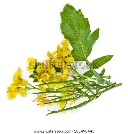 Mustard Flower blossom, Canola or Oilseed Rapeseed,close up , isolated  on white background - stock photo
