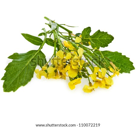 Mustard Flower blossom, Canola or Oilseed Rapeseed, close up , isolated on white background - stock photo