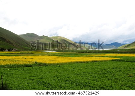 mustard flower field in Tibet